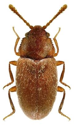 Henoticus californicus