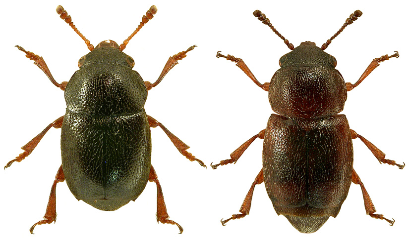 Brachypterus urticae 3