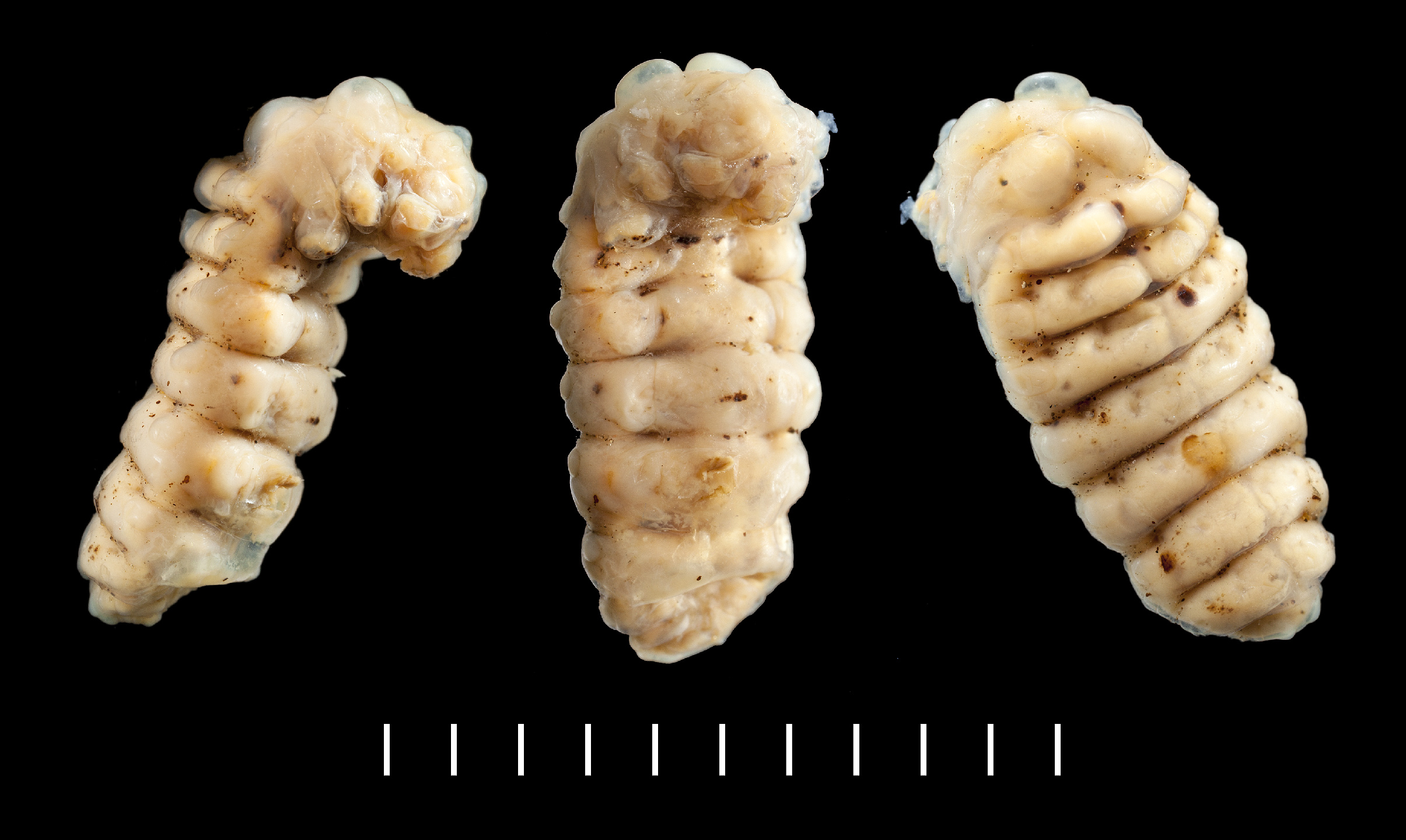 Metoecus paradoxus larva