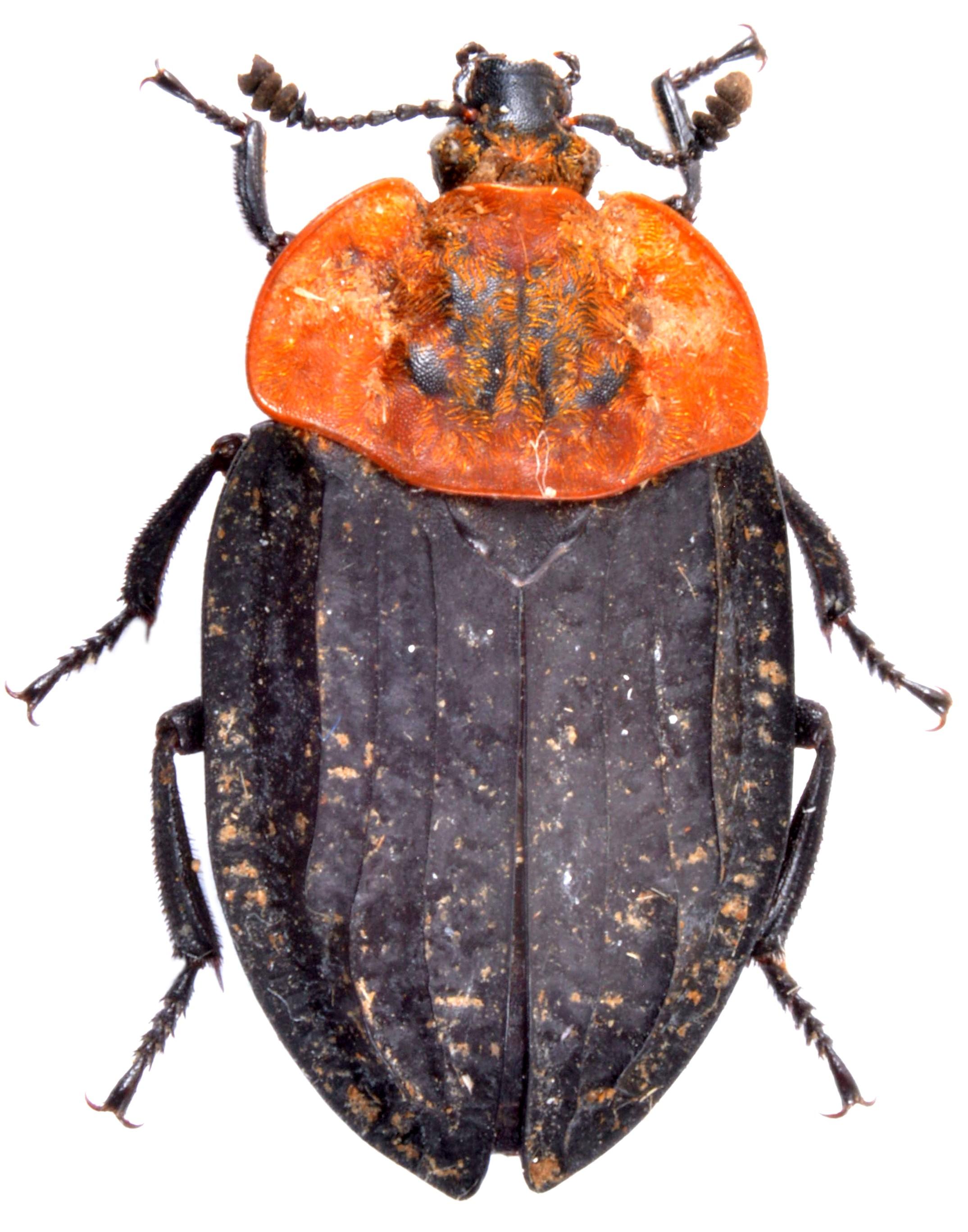 Oiceoptoma thoracicum 1