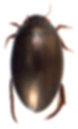 Ilybius subaeneus 1.jpg