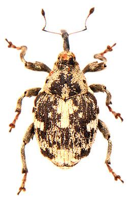 Hadroplontus litura 2