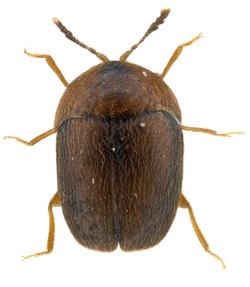 Sericoderus brevicornis