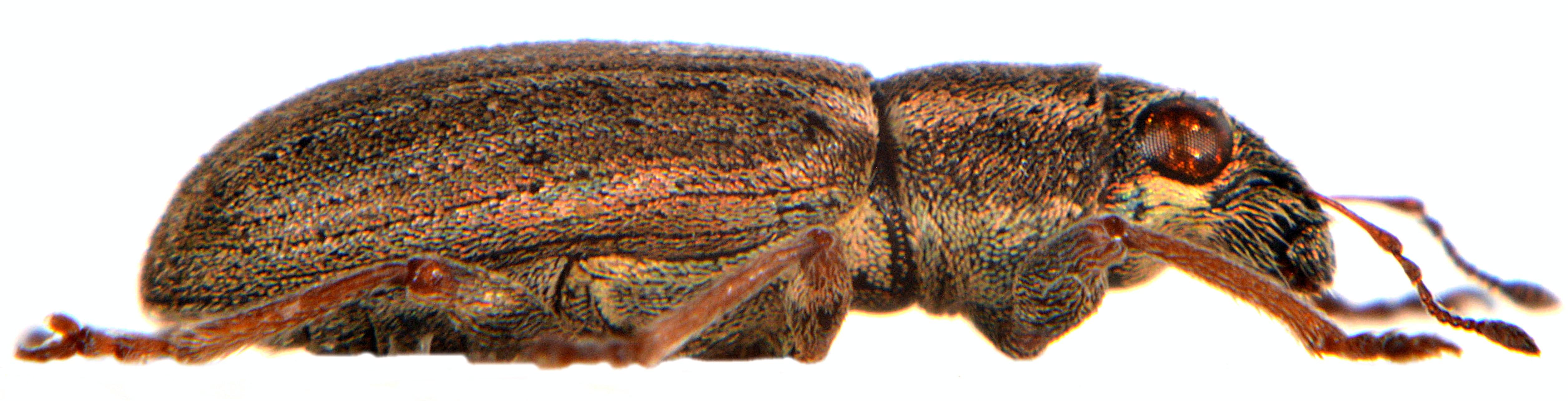 Sitona lineatus