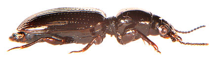 Dyschirius salinus 2.jpg