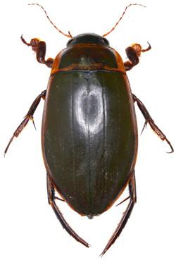 Dytiscus marginalis