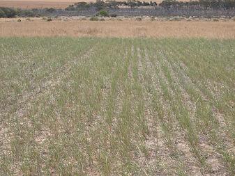 Ryegrass in plot.JPG