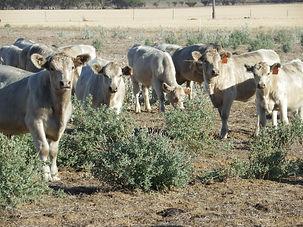 cows-Enrich2.jpg