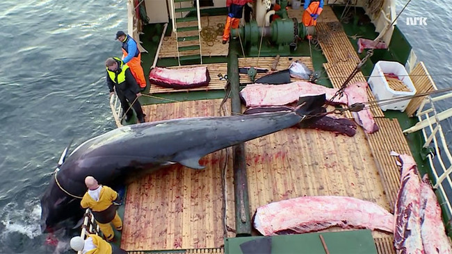 Πρωτοφανές έγκλημα στην Ιαπωνία: Δολοφόνησαν εν ψυχρώ 333 φάλαινες επικαλούμενοι επιστημονικούς σκοπ