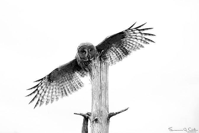 Breder ut sina vingar