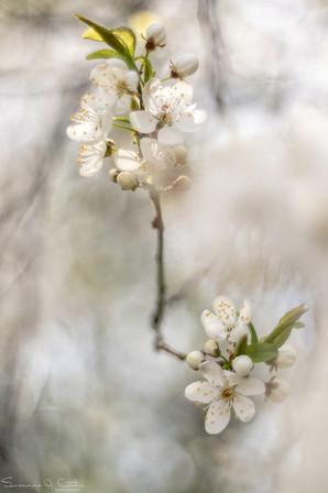 Krikonträdet står i full blom