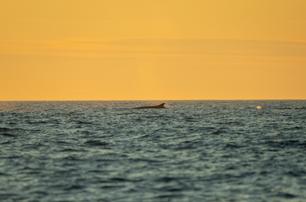 Ryggfinnen til en hval FOTO Thor Due / Natur og Ungdom