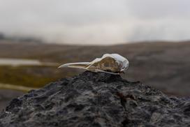 Det ugjestmilde klimaet på innlandet av Bjørnøya gjør at levninger brytes sakte ned FOTO Thor Due / Natur og Ungdom