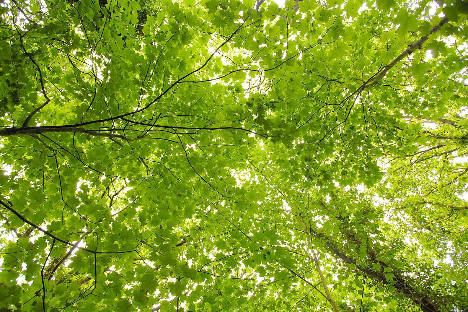 Green leaves tree canopy.jpg