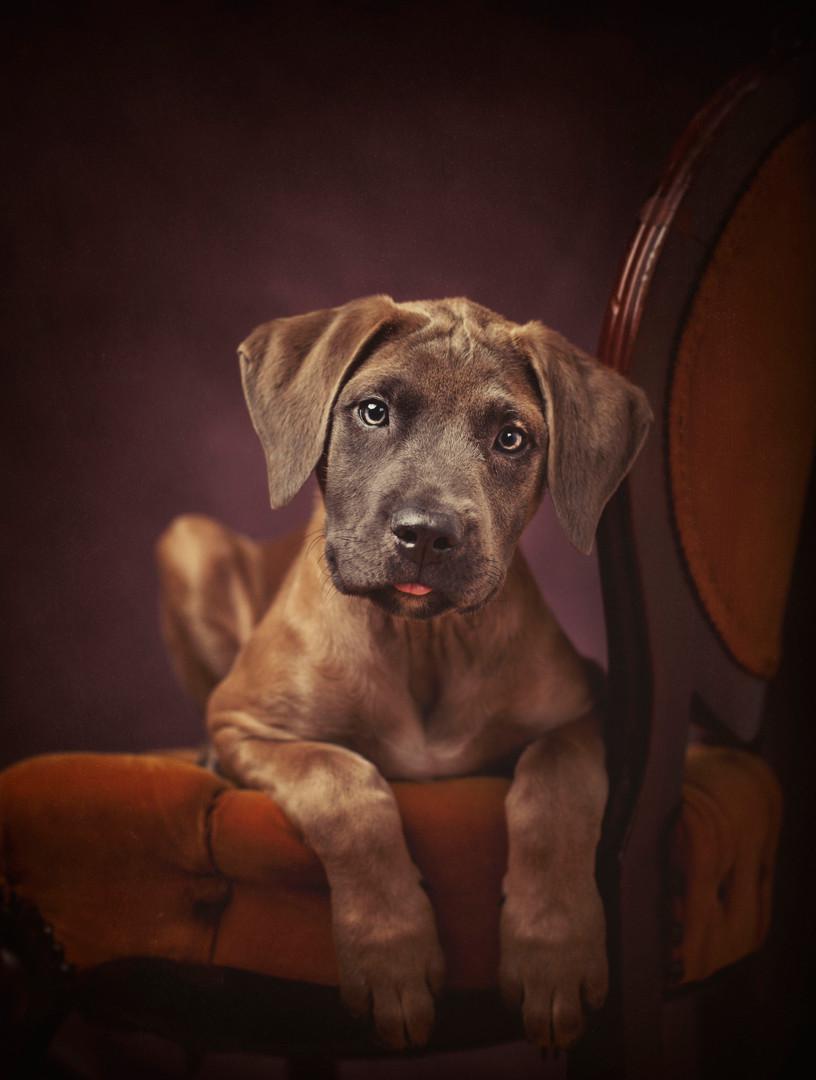 Baby Mastiff