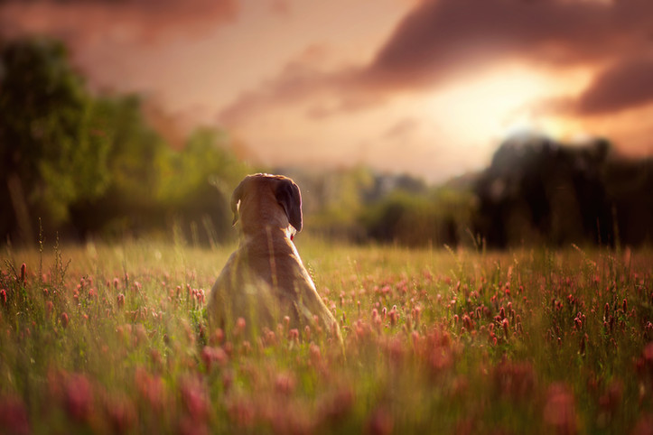 Mastiff Sunset