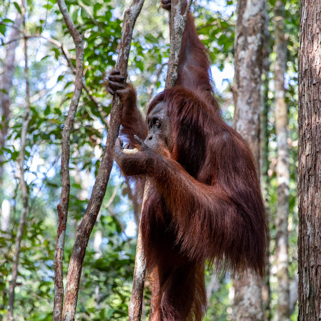 An orangutan relaxes on branches while eating a snack provided by the national park staff. There are feeding times designated for tourists to watch them without bothering them in their natural habitat. They only live in the Indonesian islands of Borneo and Sulawesi.
