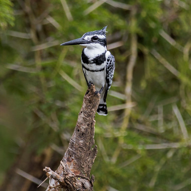 A king fisher bird is perched on a log in Queen Elizabeth National Park in Kasese, Uganda.