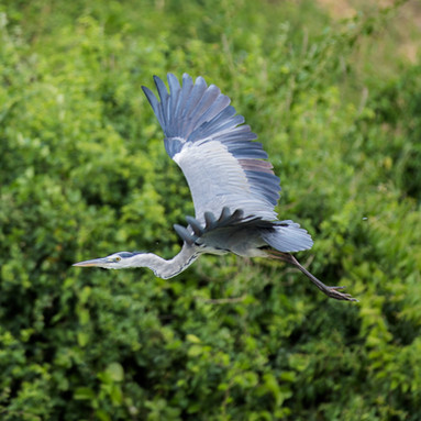 A blue-gray crane soars thorugh the sky after being frightened by hippopotamuses in Queen Elizabeth National Park in Kasese, Uganda.
