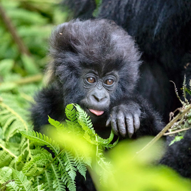 A five-month-old mountain gorilla sits with his mother waiting for food in Volcanoes National Park, Rwanda. These mountain gorillas are endangered with numbers as low as 800 individuals left. They travel in between Uganda, Rwanda and the Republic of Congo as their natural habitat in the world.