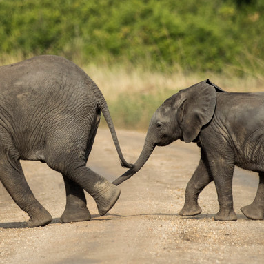 Two young elephants cross the road after some time at the watering hole in Queen Elizabeth National Park in Kasese, Uganda. Young elephants are surrounded by the adults to protect them from other animals.