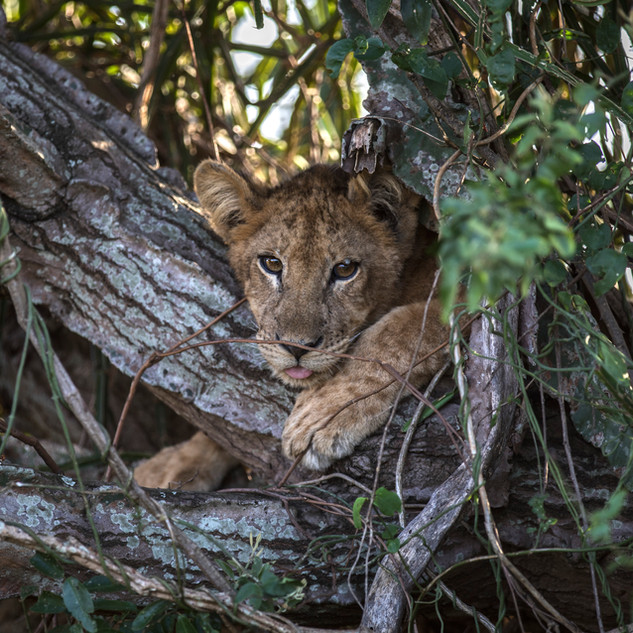 A five-month-old lion cub relaxes in a tree in Queen Elizabeth National Park, Kasese, Uganda.