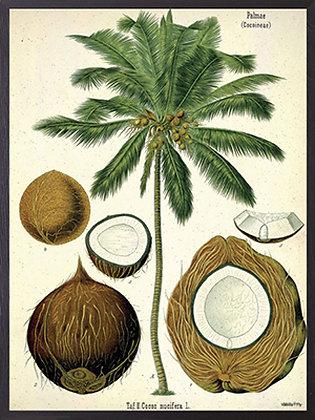 Poster Kokosnuss
