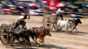 ox cart races.png