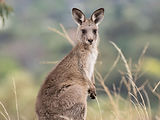 eastern_grey_kangaroo (2).jpg