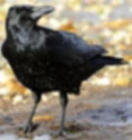 220px-Corvus_corone_-near_Canford_Cliffs