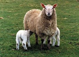 sheep-3.jpg
