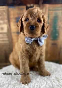 Jersey puppy 7