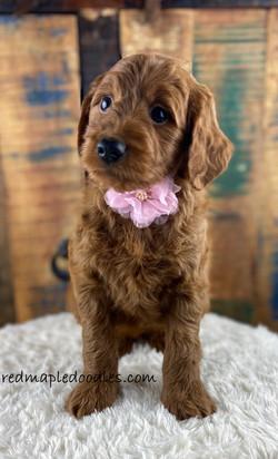 Jersey puppy 5