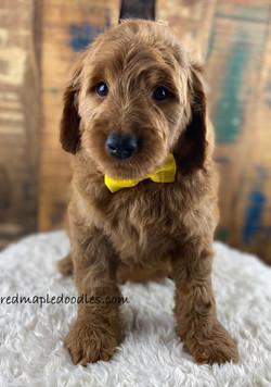 Jersey puppy 1