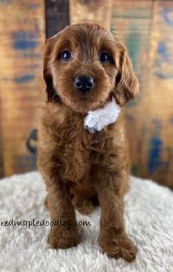 Jersey puppy 3