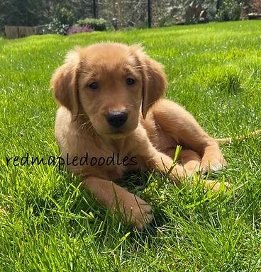 Maple puppy.jpg