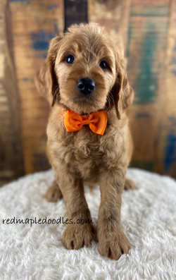 Jersey puppy 8