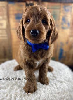 Jersey puppy 2