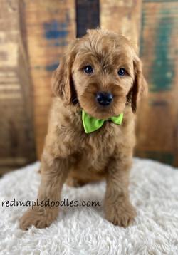 Jersey puppy 9