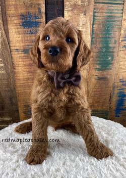Jersey puppy 10