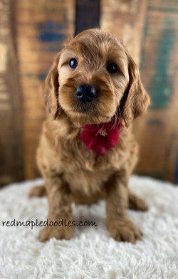 Jersey puppy 6