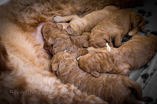 Lula puppies 8 days.jpg