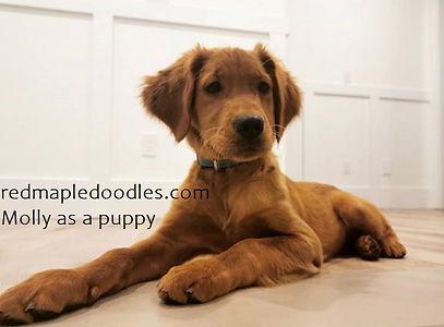 Molly puppy.jpg