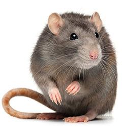 Mice/Rats