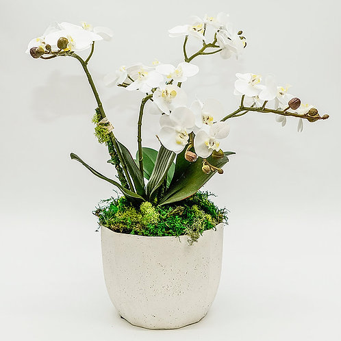 Compact Orchid in Organic Base