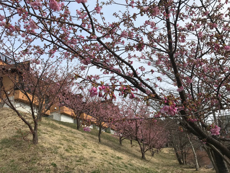 小室桜(早咲き)