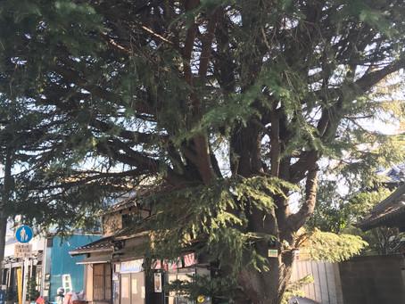 東京 谷中散策(ヒマラヤ杉)