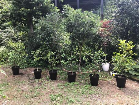 庭の木の植え替え