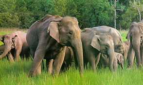 NI-13-Indian-Elephants.jpg