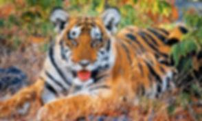 NI-12-Ranthambore-Tiger-1.jpg